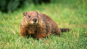 Picture of a groundhog in the grass.